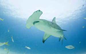 Hammerhead Shark Computer Backgrounds