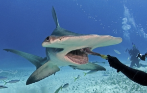 Hammerhead Shark HD Wallpaper