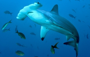Hammerhead Shark High Definition