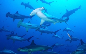 Hammerhead Shark High Quality Wallpapers