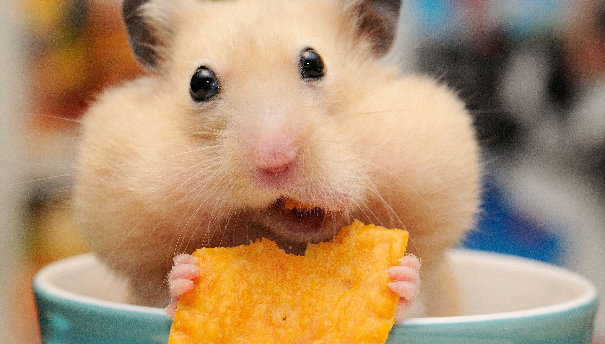 Hamster wallpapers backgrounds for Fond ecran drole