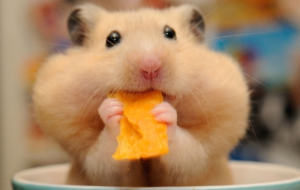 Hamster High Definition