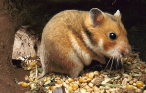 Hamster For Desktop Background