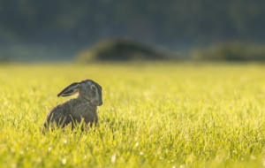 Hare Free Images