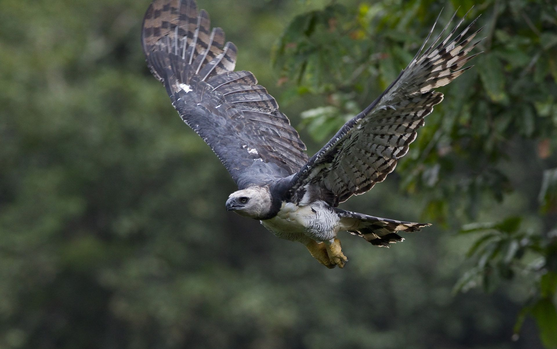 Harpy Eagle Wallpapers Backgrounds