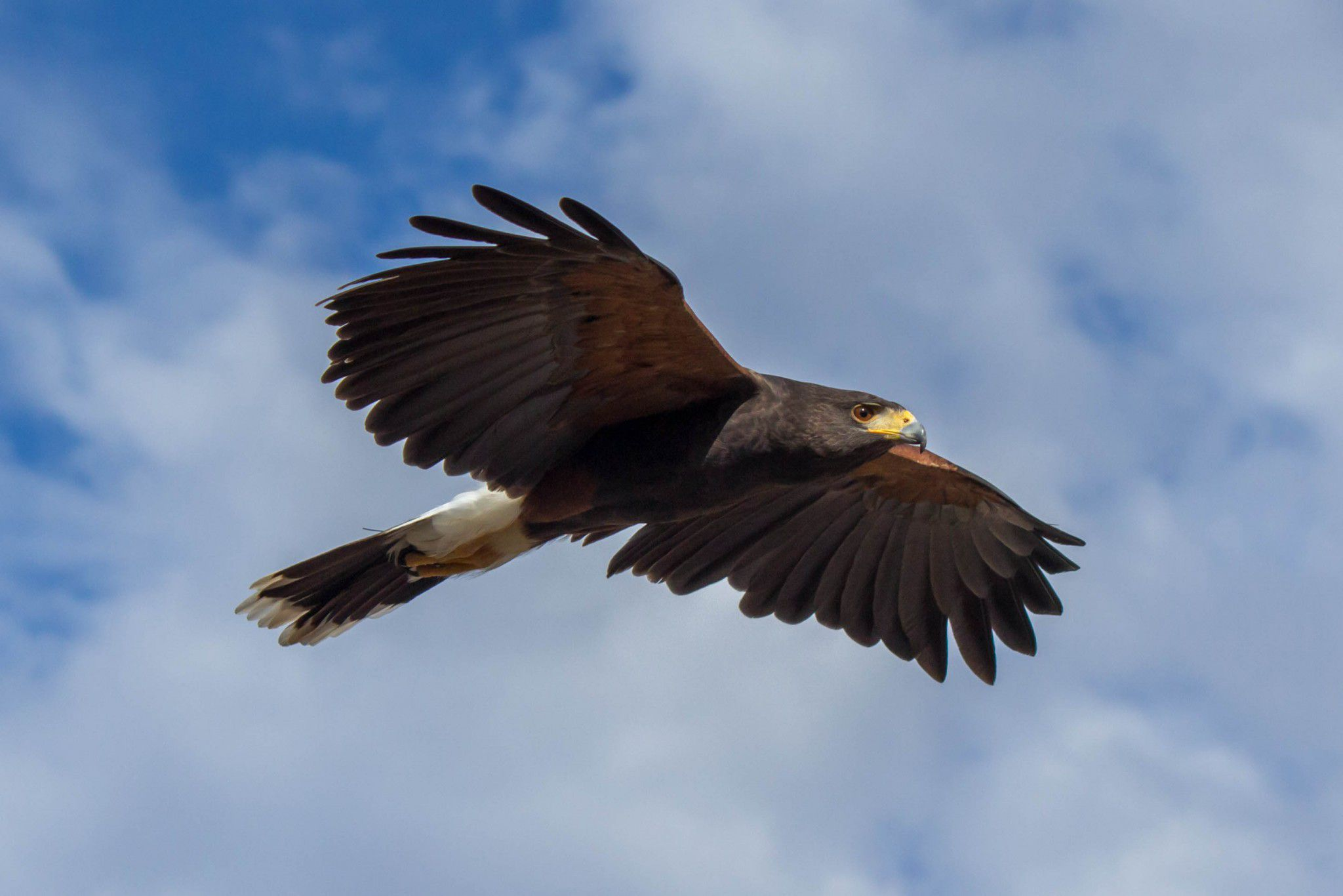 Cool Cars Games >> Harris's Hawk Wallpapers Backgrounds