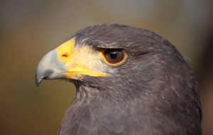 Harris's Hawk HD Wallpaper