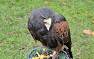 Harris's Hawk For Desktop