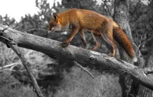 Images Of Fox