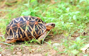 Indian Star Tortoise Desktop