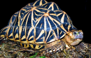 Indian Star Tortoise HD Wallpaper