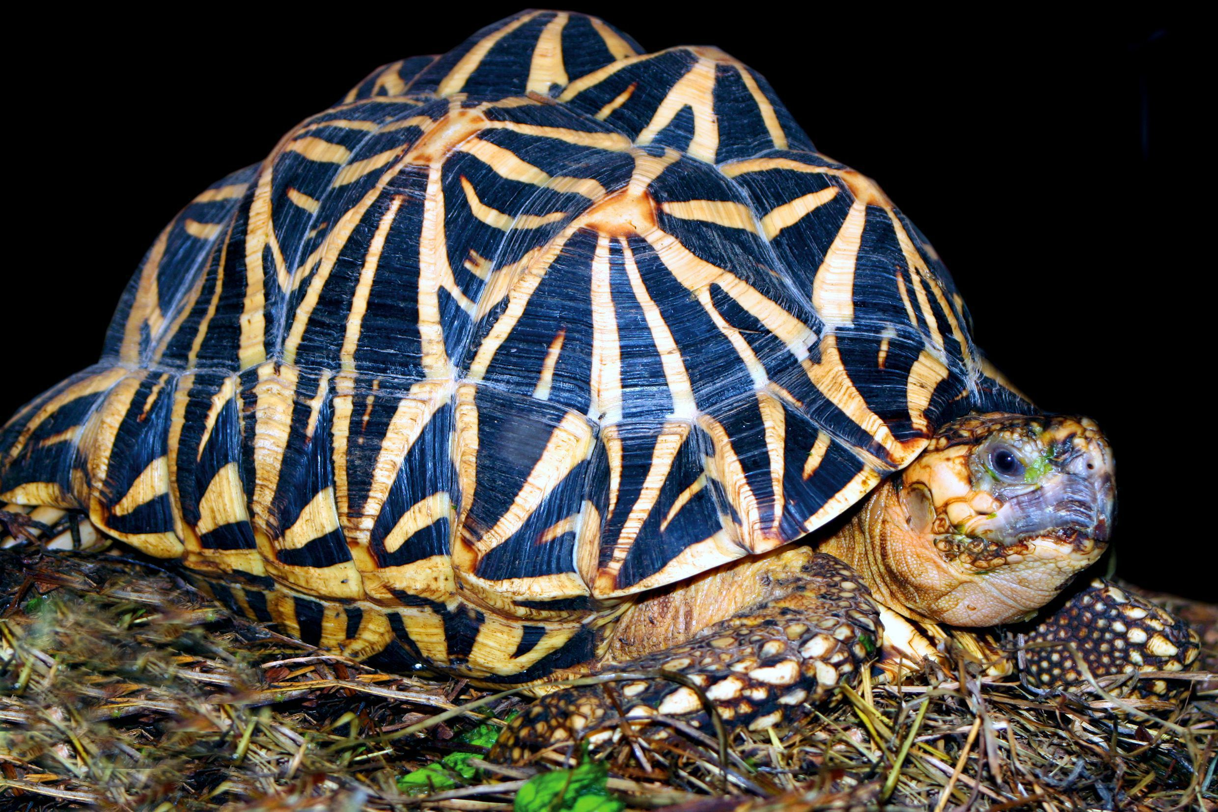 indian star tortoise wallpapers backgrounds