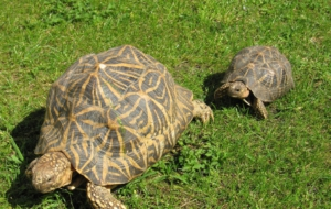 Indian Star Tortoise High Definition Wallpapers