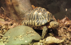 Indian Star Tortoise High Quality Wallpapers