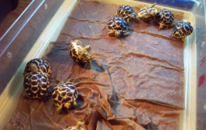 Indian Star Tortoise Photos