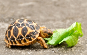 Indian Star Tortoise Pictures