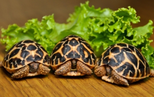 Indian Star Tortoise Wallpapers HQ