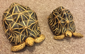 Indian Star Tortoise Widescreen