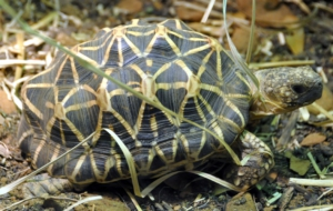Indian Star Tortoise For Desktop