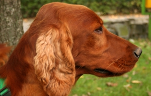 Irish Setter Download