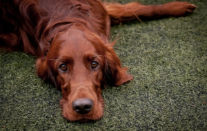 Irish Setter HD Background