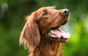 Irish Setter HD Wallpaper