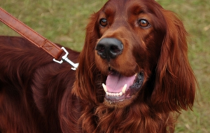 Irish Setter High Definition
