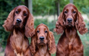 Irish Setter High Quality Wallpapers