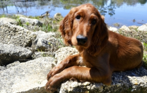 Irish Setter Photos