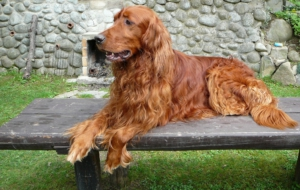 Irish Setter Pictures