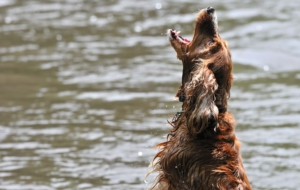 Irish Setter Wallpapers HD