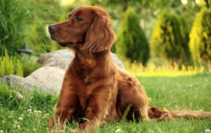 Irish Setter For Desktop