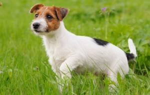 Jack Russell Terrie Computer Backgrounds