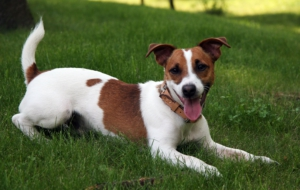 Jack Russell Terrie High Definition