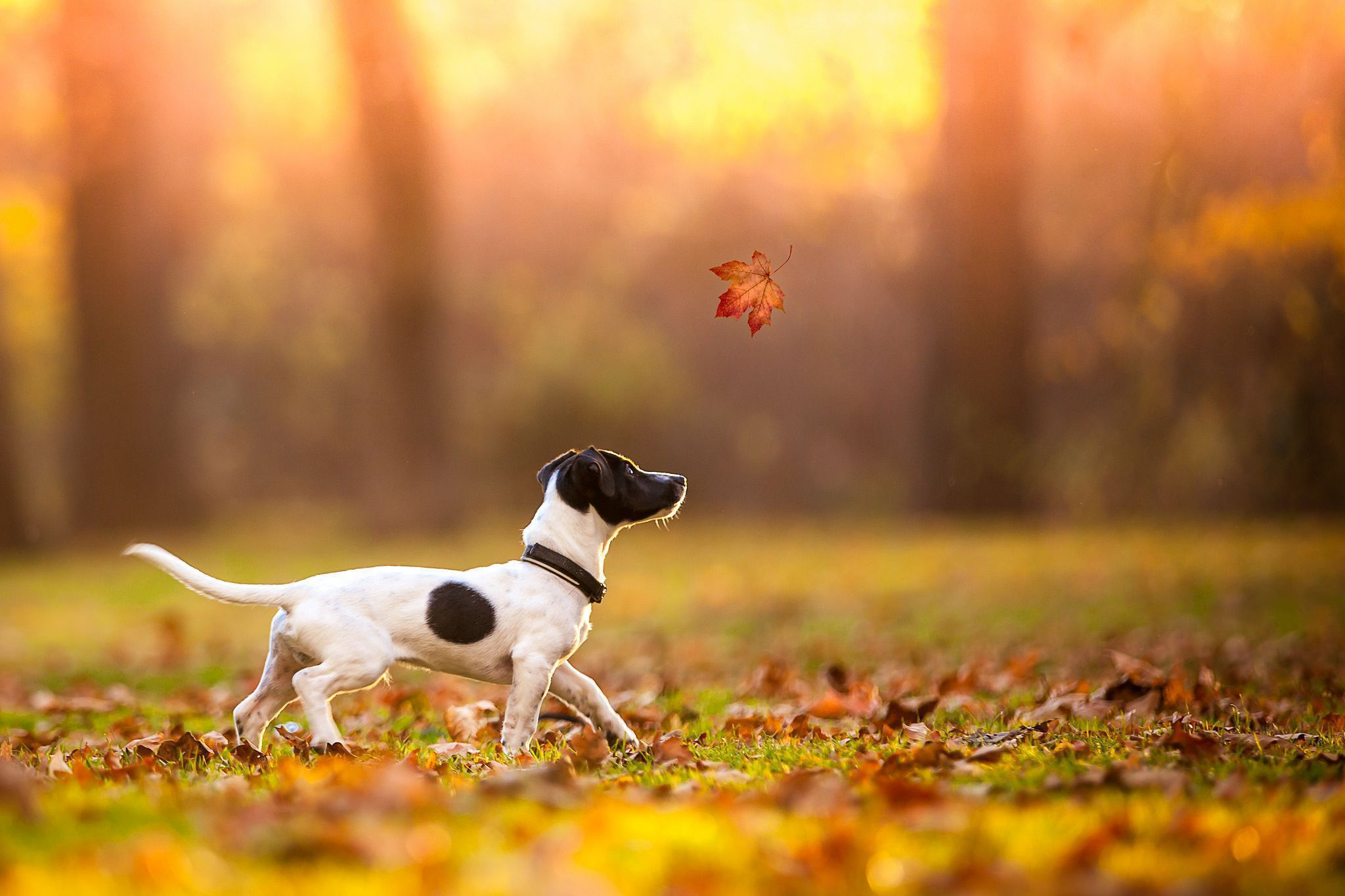Jack Russell Terrie Wallpapers Backgrounds Jack Russell Terrier Wallpaper