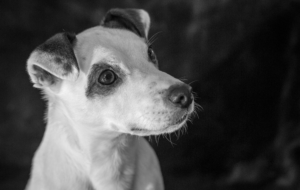 Jack Russell Terrie Images