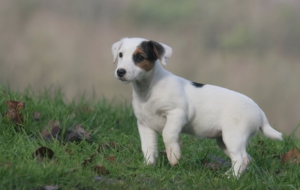 Jack Russell Terrie Wallpapers