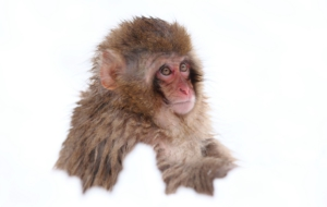 Japanese Macaque Background
