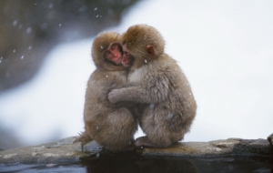 Japanese Macaque Computer Backgrounds
