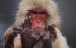 Japanese Macaque High Definition