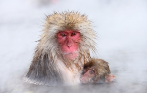 Japanese Macaque High Definition Wallpapers