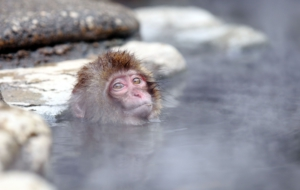 Japanese Macaque High Quality Wallpapers