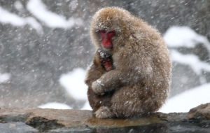 Japanese Macaque Images
