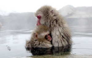Japanese Macaque Pictures