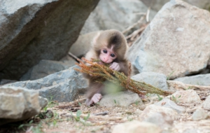Japanese Macaque Wallpaper For Laptop