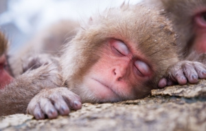 Japanese Macaque Wallpapers HQ
