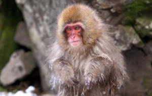 Japanese Macaque Widescreen
