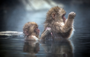 Japanese Macaque Full HD