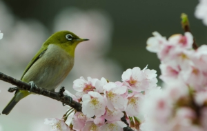 Japanese White Eye 4K