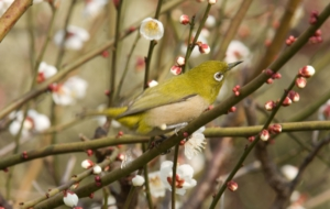Japanese White Eye HD
